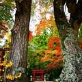写真: 愛宕神社の紅葉