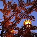 写真: 銀杏と外灯
