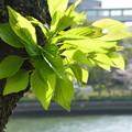 Photos: 桜若葉