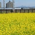 Photos: 菜の花畑と二上山