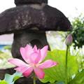 Photos: お寺の蓮