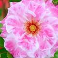 Photos: ピンクと白の薔薇