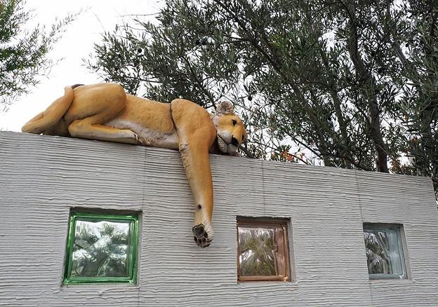 脱走ライオン?