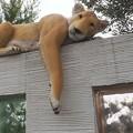 Photos: 寝そべるライオン