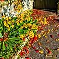 Photos: ツワブキと落ち葉