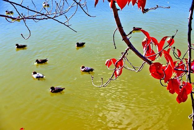 Photos: 桜紅葉と鴨
