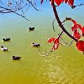 桜紅葉と鴨