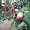 Photos: ツバキと鳥居