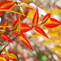 Photos: 南天の紅葉