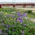 Photos: 堤防に咲く