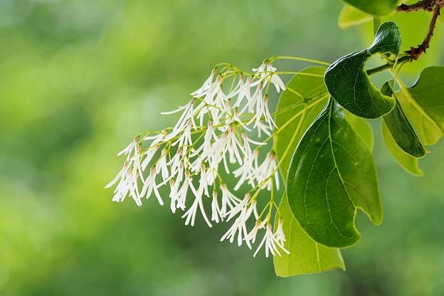 Photos: ナンジャモンジャの木