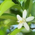 柑橘系の花