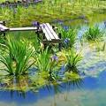 Photos: かきつばた園