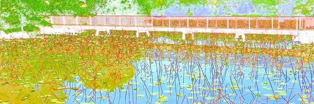 大泉緑地 蓮池