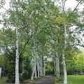 Photos: 短い白樺並木