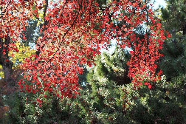 Photos: 松と紅葉