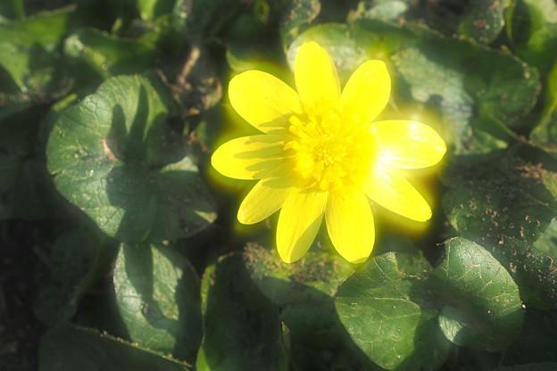Photos: 黄色の輝き