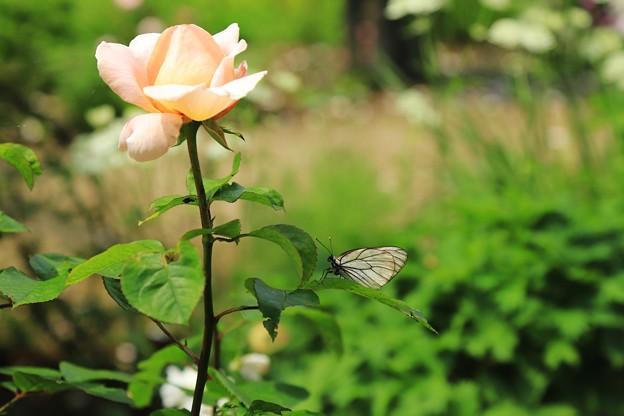 写真: バラと蝶がいます