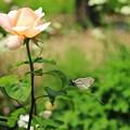Photos: バラと蝶がいます