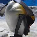20180620 長崎ペンギン水族館 ジュン06