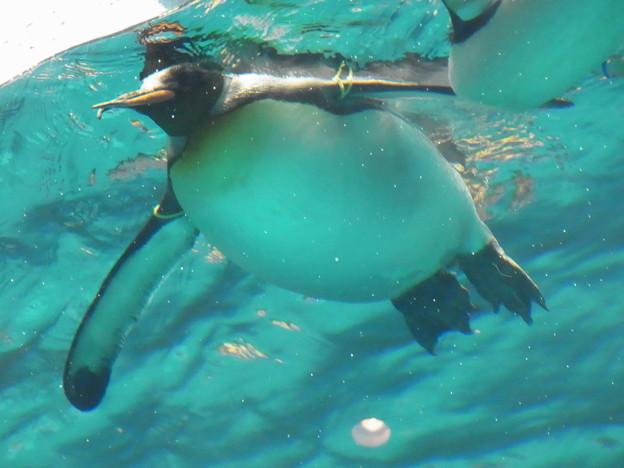 写真: 20180620 長崎ペンギン水族館 ジュン15
