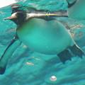 Photos: 20180620 長崎ペンギン水族館 ジュン15