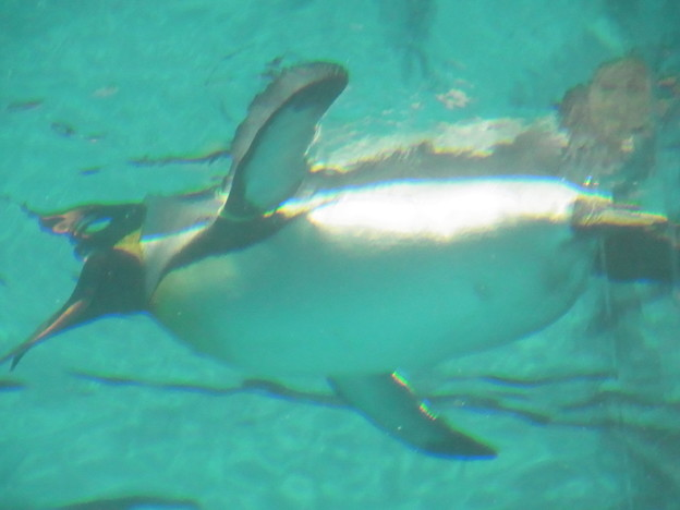 写真: 20180620 長崎ペンギン水族館 ジュン17