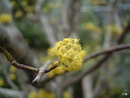 サンシュユ(Cornus officinalis Siebold et Zucc.)
