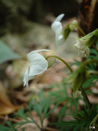エイザンスミレ(Viola eizanensis (Makino) Makino)