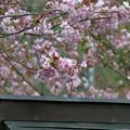 黒田の100年桜