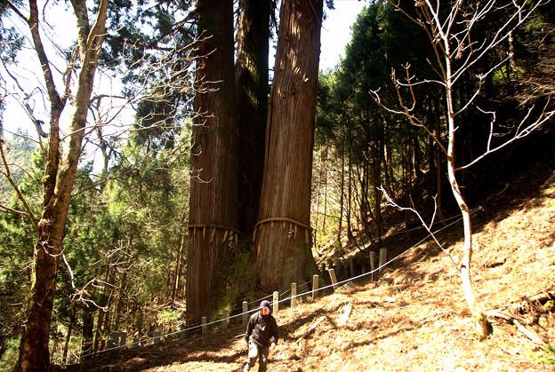 大悲山神木「三本杉」、日本一の高さらしい。
