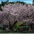 黒田の百年桜