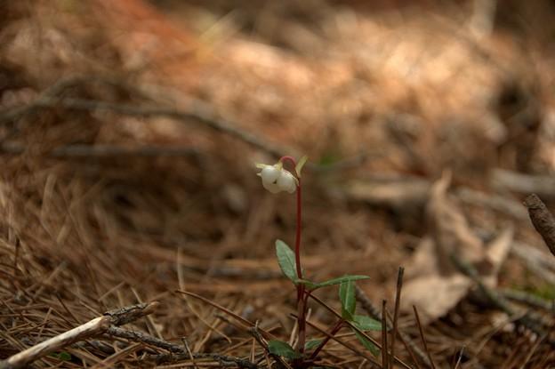 ウメガサソウ(Chimaphila japonica Miq.)