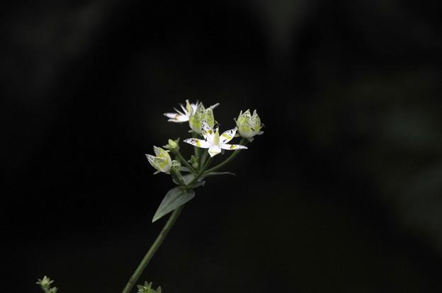 アケボノソウ(Swertia bimaculata (Siebold et Zucc.) Hook.f. et Thomson ex C.B.Clarke)