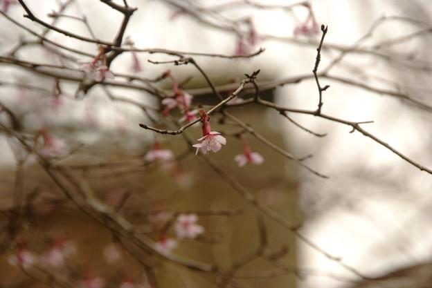 キンキマメザクラ(Prunus incisa var. kinkiensis.)