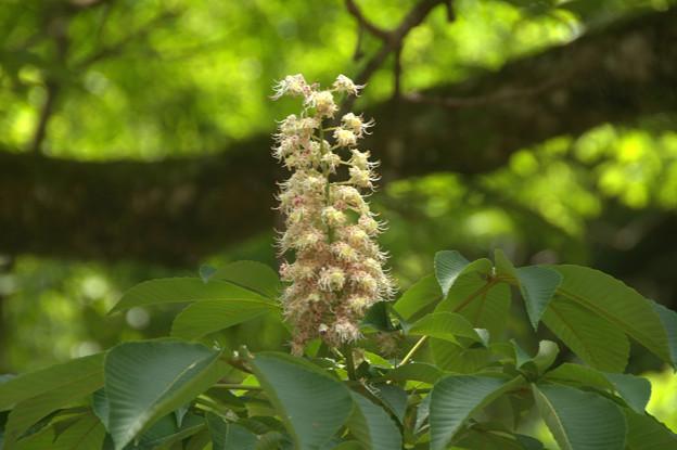 トチノキ(Aesculus turbinata)
