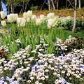 写真: 白い花壇