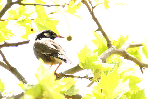 プラタナスの木に鳥が