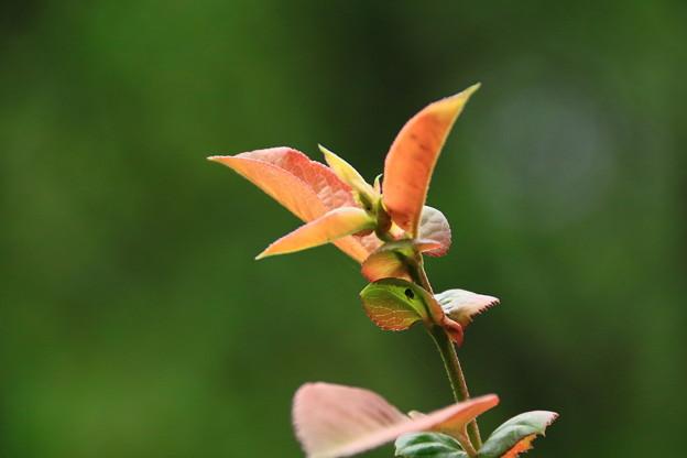 木瓜の若葉