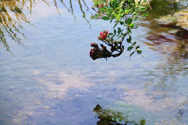 Photos: 水辺の薔薇