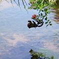 写真: 水辺の薔薇