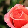 写真: 薔薇(アルブレヒトデューラーローズ)