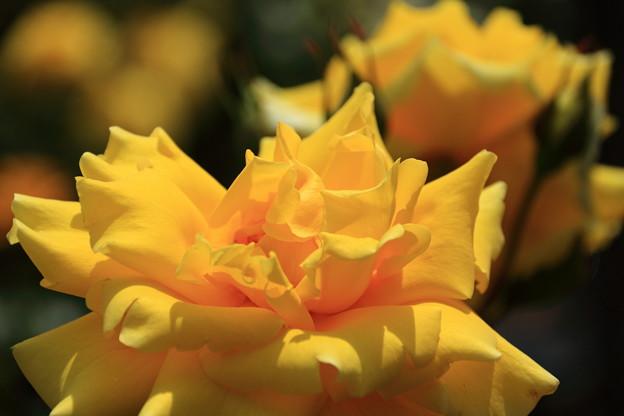 薔薇(かぐや姫)