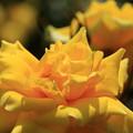 写真: 薔薇(かぐや姫)