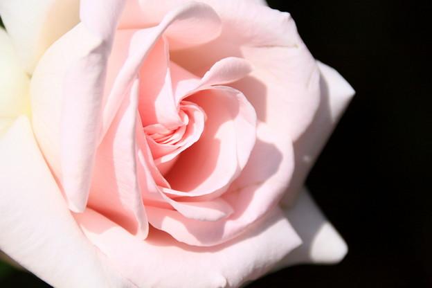 薔薇(マイガーデン)