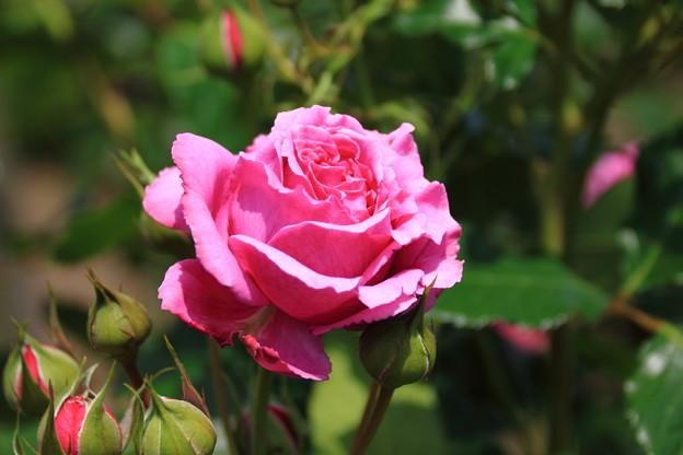 薔薇(イブピアジェ)