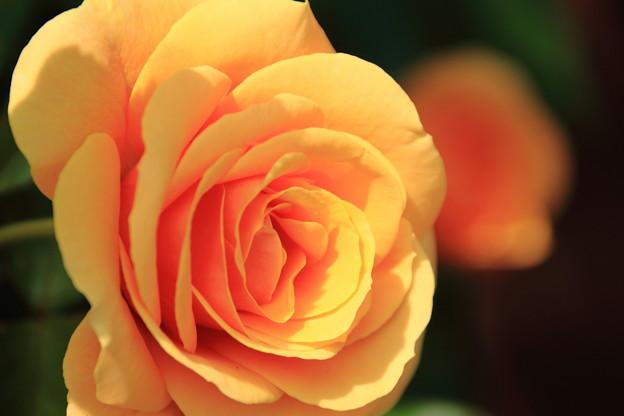 薔薇(スターチェイサー)