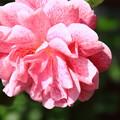 薔薇(キャメロット)
