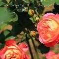 薔薇(ソレユロマンチカ)