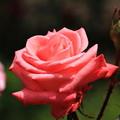 薔薇(プリンセスサヤコ)